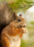 Squirrel with a sunflower seeds Stock Photo
