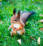 A squirrel, sunny day Stock Photography