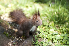 Squirrel - RAW format Stock Photography