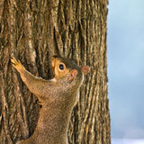 Squirrel at Sunrise Royalty Free Stock Photography