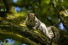 Squirrel Surrounded By Very Green Tree Stock Images