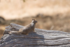 Squirrel surveys the land from a fallen tree. Royalty Free Stock Image