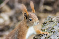 Squirrel. Sweet  brown Squirrel in Nature Royalty Free Stock Photo
