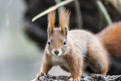 Squirrel. Sweet  brown Squirrel in Nature Royalty Free Stock Image
