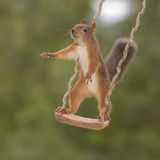 Squirrel on a swing reaching out Stock Image