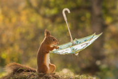 Squirrel with table manners Stock Photos