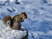 Squirrel on a table stock image