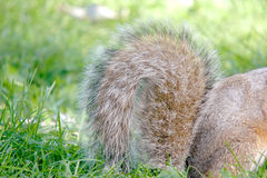 Squirrel tail. Close-up Royalty Free Stock Images