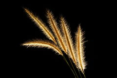 Squirrel tail grass Royalty Free Stock Photos