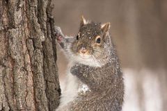 Squirrel. Taken in Grindstone Creek Hamilton Royalty Free Stock Photo