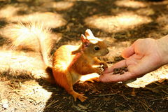 Squirrel takes cedar nuts from hand Royalty Free Stock Photos