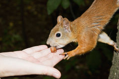 Squirrel takes nut from hand Stock Image