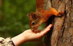 Squirrel takes nuts from girl's hand Stock Photos