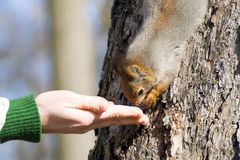 Squirrel Takes Nuts From Hand Stock Images