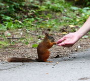 Squirrel. Takes nuts from woman's hand Royalty Free Stock Images