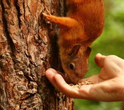 Squirrel takes seeds from man's hand Royalty Free Stock Photo