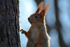 Squirrel takes someone note. The red-haired squirrel takes someone note Royalty Free Stock Photo