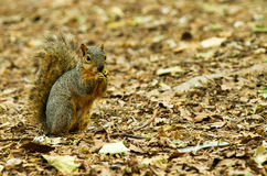 Squirrel Taking a chomp of something to eat. Photo of a squirrel on a ground of leaves, copy space is available to the right of the image stock photography