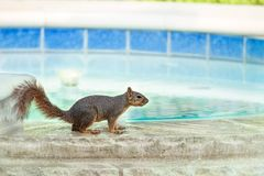 Squirrel taking a drink from swimming pool royalty free stock photo