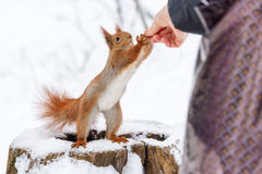 Squirrel taking hazelnut from human hand. Close up photo in winter time on snow background. Squirrel taking hazelnut from human hand. Close up photo in winter stock photo