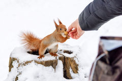 Squirrel taking hazelnut from human hand. Close up photo in winter time on snow background. Squirrel taking hazelnut from human hand. Close up photo in winter royalty free stock photography