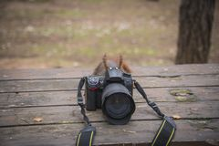 Squirrel taking pictures. Red squirrel trying photo camera in the woods. Squirrel with camera royalty free stock photos