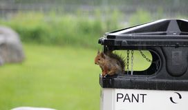 Squirrel in rain. A squirrel taking shelter from the rain royalty free stock photo