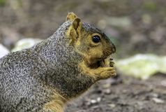 A squirrel taking time for a snack. A squirrel taking time to snack on a peanut on a hot summer day royalty free stock images