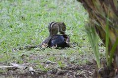 Squirrel Tamias striatus. In the meadow Stock Photo