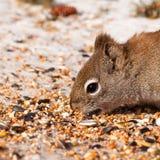 Squirrel Tamiasciurus hudsonicus steals bird food Royalty Free Stock Photography