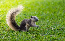 Squirrel thailand. Cute Pets Nature Royalty Free Stock Photography