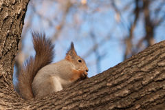 Squirrel on a thick branch of a tree Stock Image