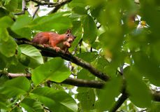 Squirrel thief. Red european squirrel (Sciurus vulgaris) between the leafs of a tree carrying a walnut in his mouth and looking into the camera Royalty Free Stock Photos