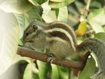 Squirrel or three striped squirrel eating food Royalty Free Stock Images