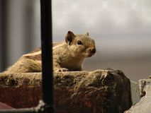 Squirrel or three striped squirrel eating food Royalty Free Stock Image