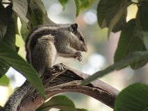 Squirrel or three striped squirrel eating food Stock Photo