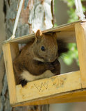 Squirrel. To eat nut crib summer Royalty Free Stock Photo