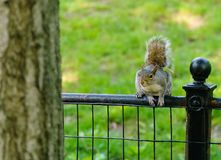 Squirrel about to jump Stock Photography