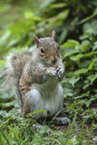 Squirrel to keep nuts Stock Image