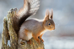 Squirrel on top Stock Images