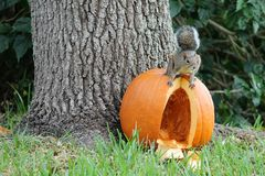 Squirrel on top of a pumpkin Royalty Free Stock Photography