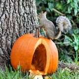 Squirrel on top of pumpkin Royalty Free Stock Photography