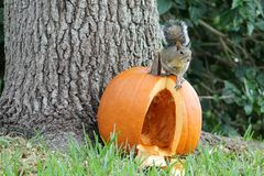 Squirrel on top of pumpkin Stock Photography