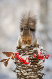 Squirrel on top Stock Photography