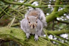 Squirrel on top of a tree trunk looking directly at the camera royalty free stock images