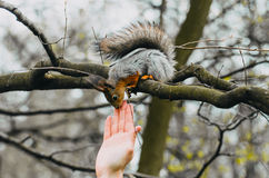 Squirrel touches a human hand on a tree in a spring forest Royalty Free Stock Photography