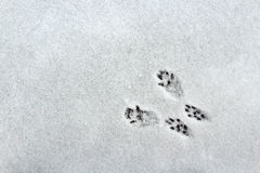 Squirrel Tracks in the Snow. Black squirrel tracks in white snow stock images
