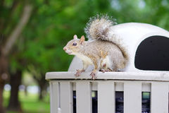 Squirrel on a trash can Royalty Free Stock Images