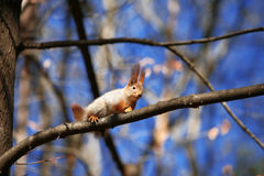 Squirrel  at tree Stock Image
