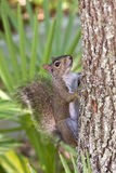 Squirrel on a tree. Bushy tailed squirrel on a tree in a portrait composition Royalty Free Stock Photos